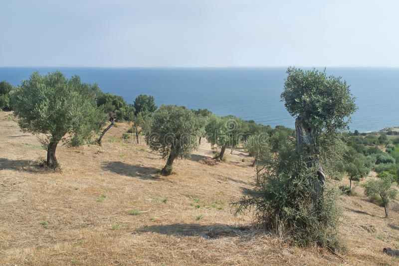 Download Olive Grove At The Shore Of Mount Athos Stock Photo - Image: 48581892