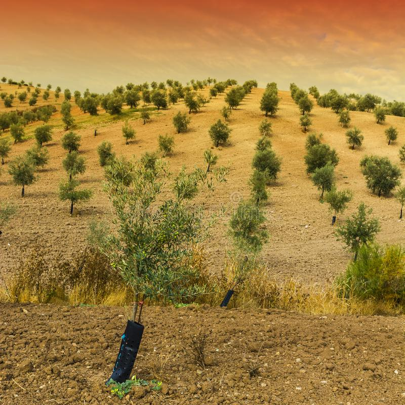 Mysterious olive grove in Spain. Olive grove in Spain at sunrise. Breathtaking landscape and nature of the Iberian Peninsula stock images