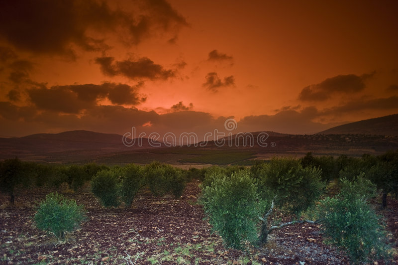 Olive Grove Sunset Stock Photos