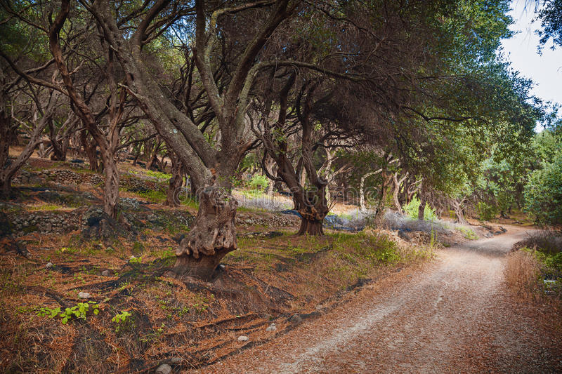 Olive grove. Terraced olive grove by the wayside, Corfu, Greece royalty free stock image