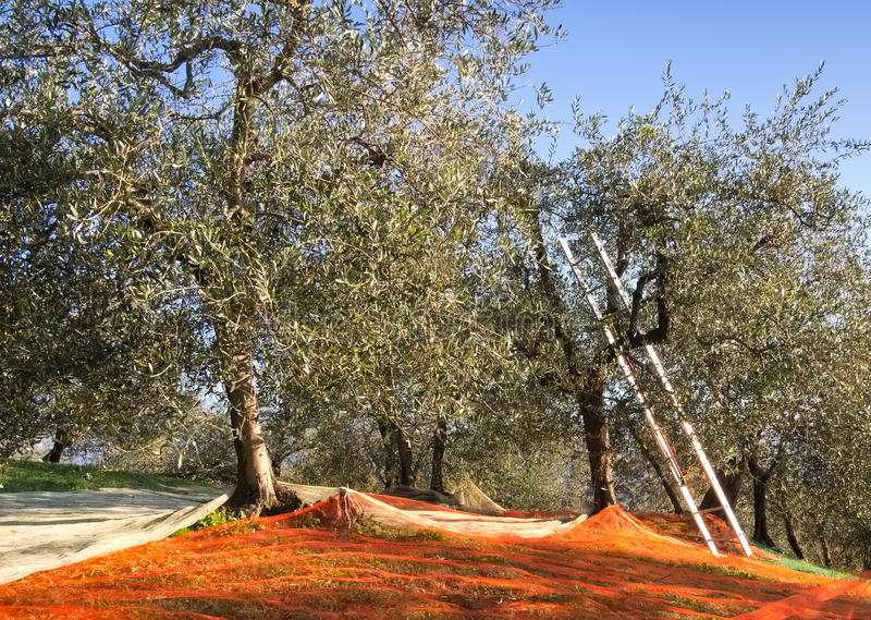 Download Olive Grove Traditional Harvest Method, Italy Stock Photo - Image: 27967670
