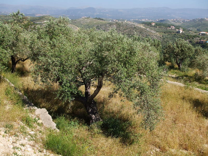 Olive grove stock images