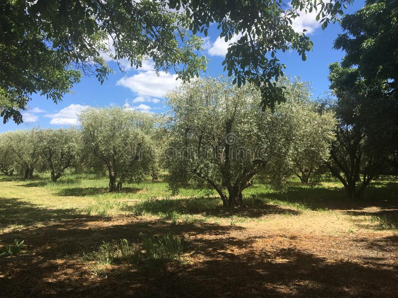 Olive Grove Among vingårdarna arkivbild