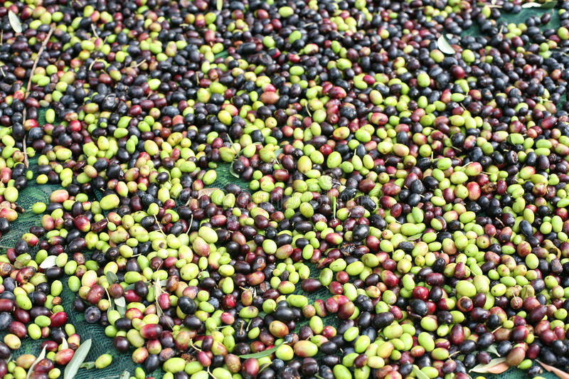 The olive harvest stock photos