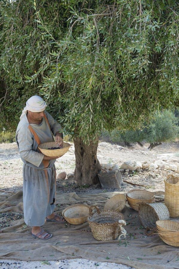 Download Olive harvest editorial photography. Image of olive, arab - 28473687