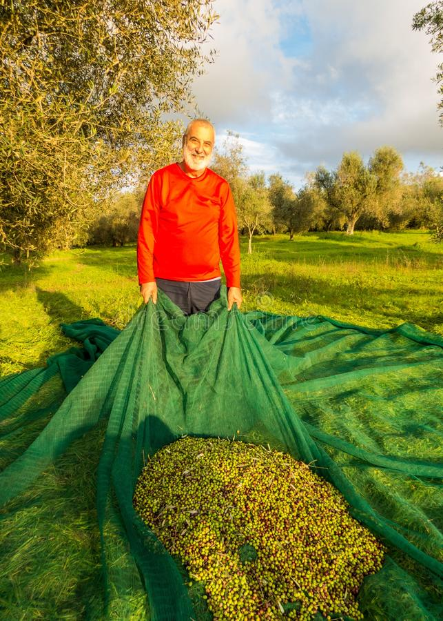 Free Olive Harvest Royalty Free Stock Image - 83077356