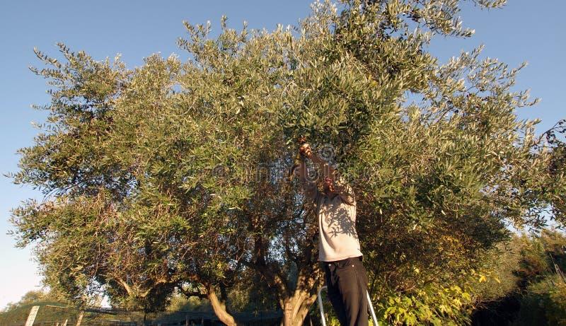 Olive Harvest Man royaltyfri fotografi