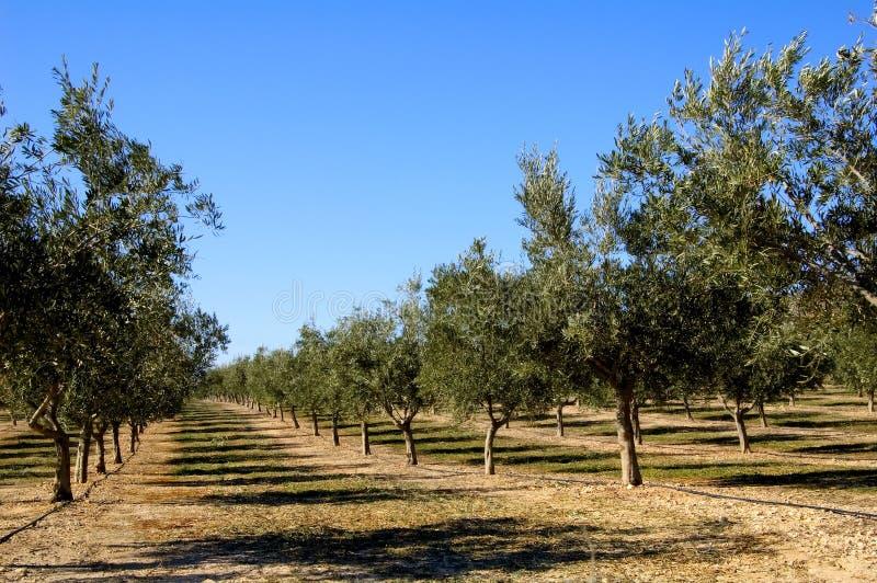 olive kolonispain trees arkivfoton