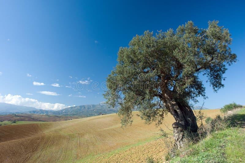 olive krajobrazu wiejskiego drzewo fotografia stock