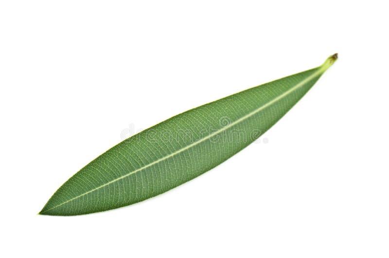 Olive leaf royalty free stock photos