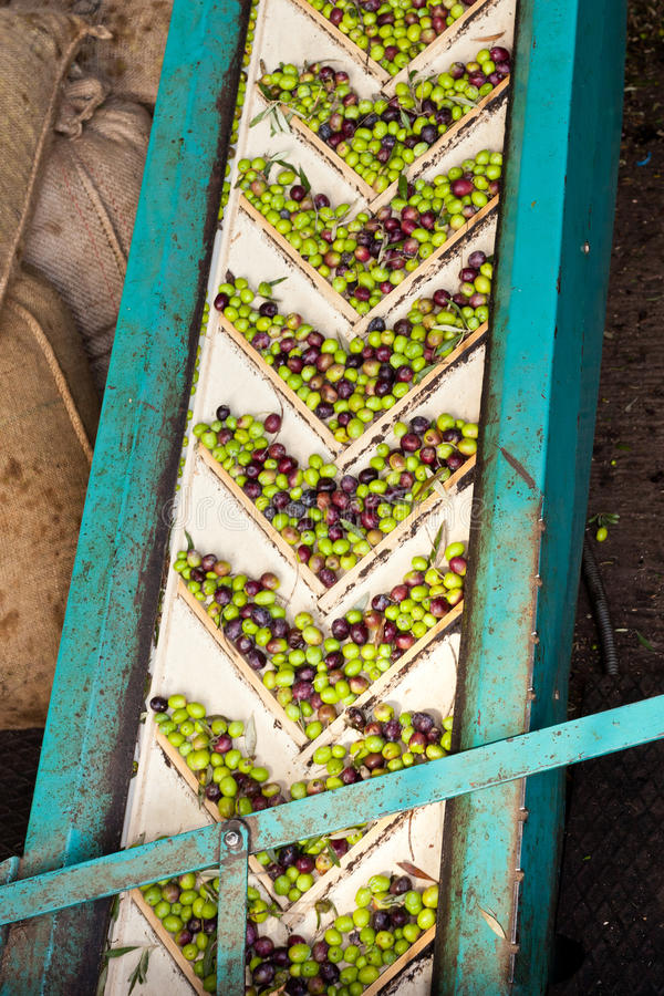 Olive Mill Conveyor Belt Feed royalty free stock image