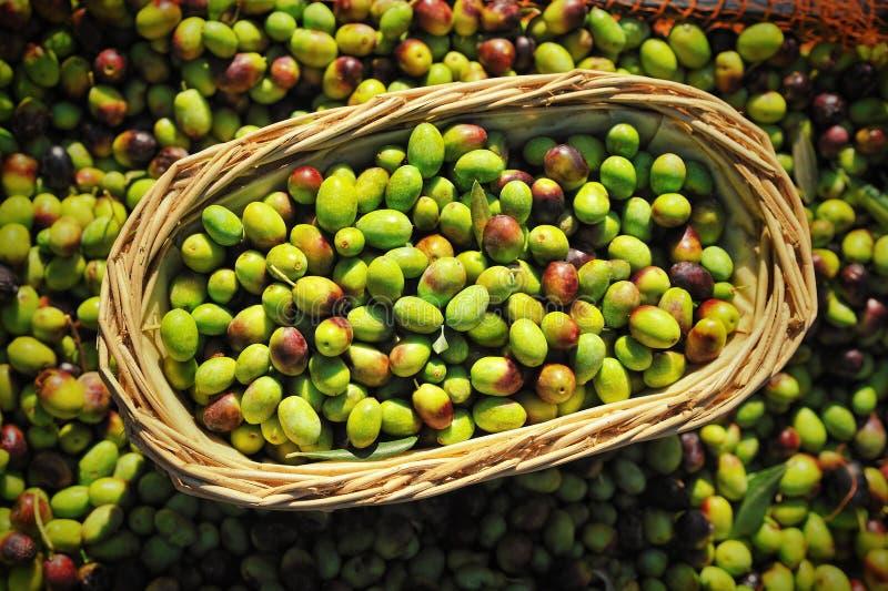 Olive nel canestro dell'agricoltore al Mediterraneo fotografia stock
