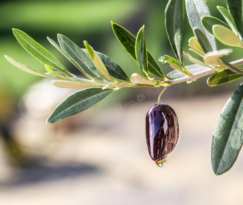 Olive oil drops from the olive berry. Ð¡onceptual picture stock photography