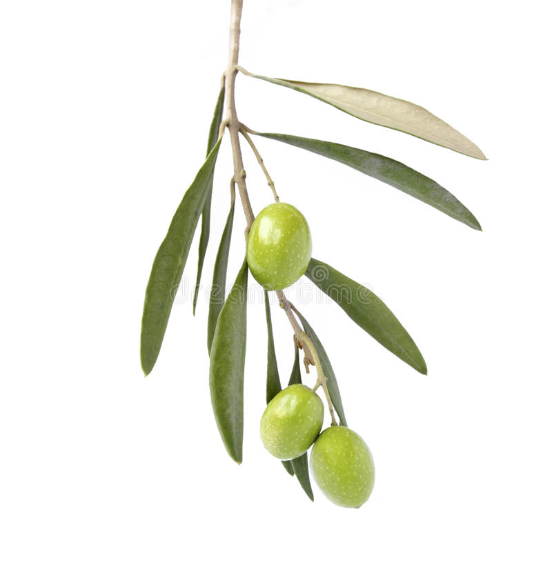 Free Olive On Branch Stock Images - 35962524