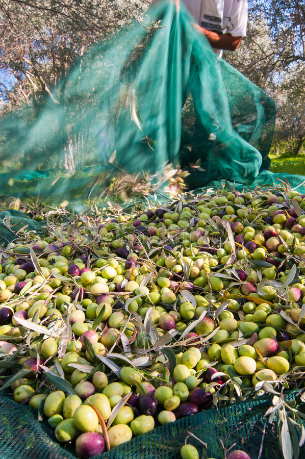 Olive picking time stock image