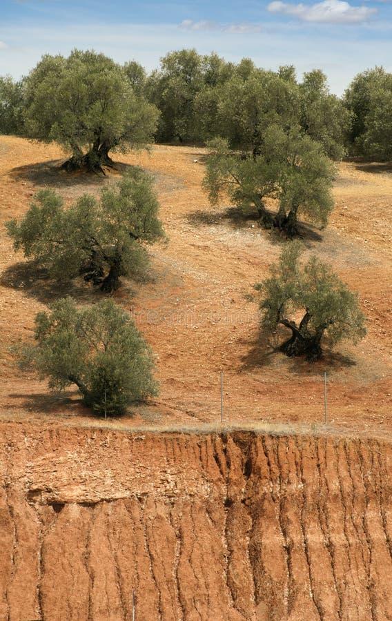 Download Olive plantation stock image. Image of countryside, scene - 26615041