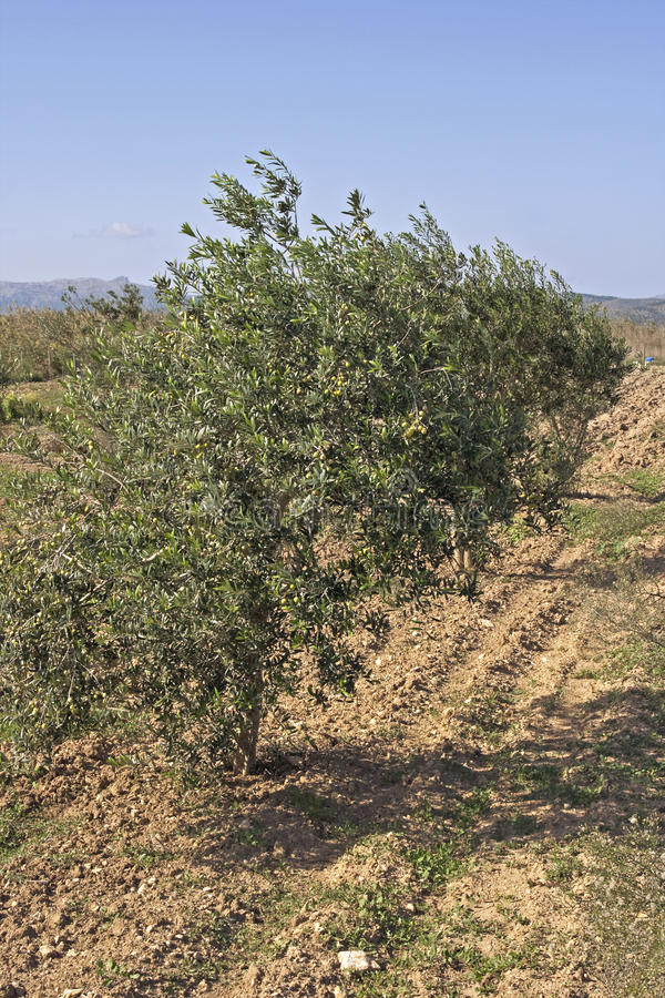 Download Olive plantation stock photo. Image of grove, agreculture - 27184702