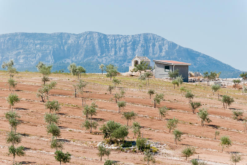 Olive plantation with hill in distance royalty free stock photos