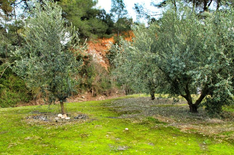 Olive plantation on land with green moss. In the province of Valencia, Spain oil brown farm scenery spring country farmland field countryside cultivation travel stock photos