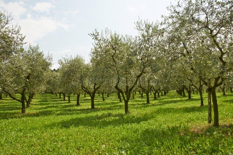 Olive plants royalty free stock photo
