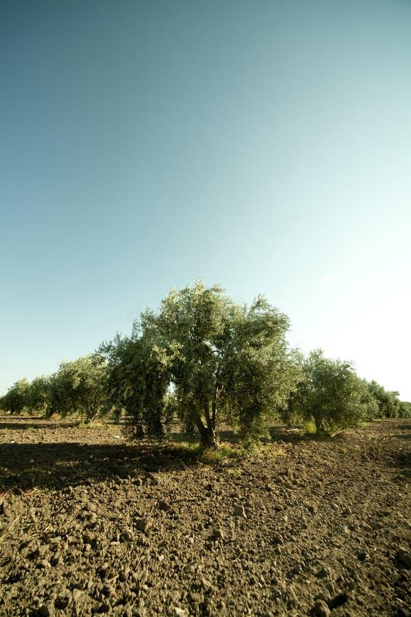 Download Olive regular trees stock image. Image of garden, nature - 21862357