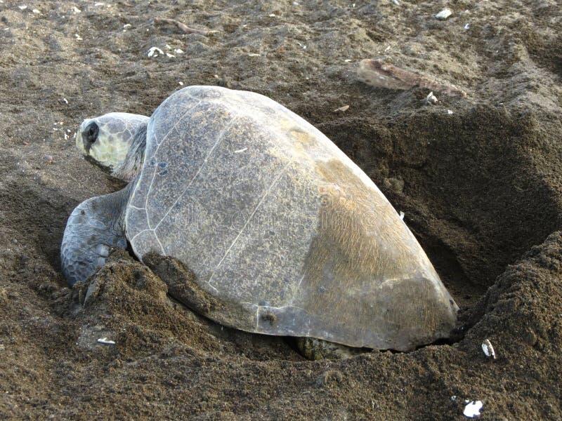 Olive Ridley Sea Turtle Costa royaltyfri fotografi