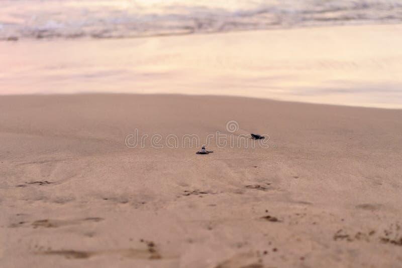 Olive Ridley Sea Turtle ( Lepidochelys olivacea) en México, siendo lanzado como parte de proyecto de la protección imagenes de archivo