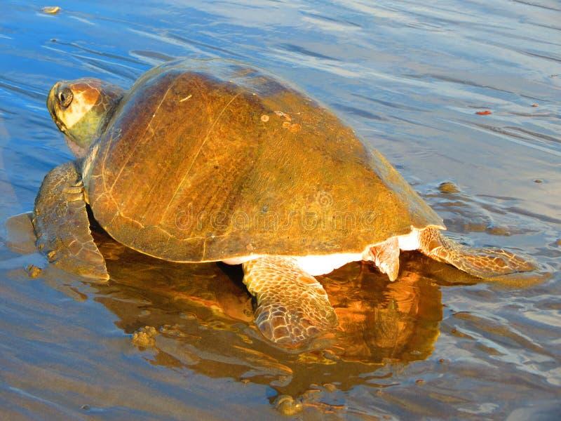 Olive Ridley Sea Turtle spår Costa Rica arkivfoto