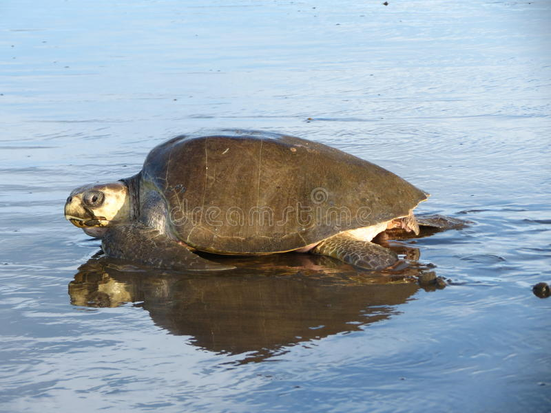 Olive Ridley Sea Turtle-spoor Costa Rica stock fotografie
