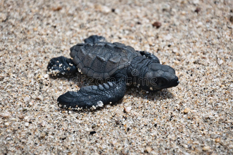 Olive Ridley stock image