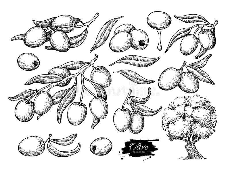 Olive set. Hand drawn vector illustration of branch with food, tree, oil drop. Isolated drawing on white background. Engraved plant. Great for menu, banner stock illustration