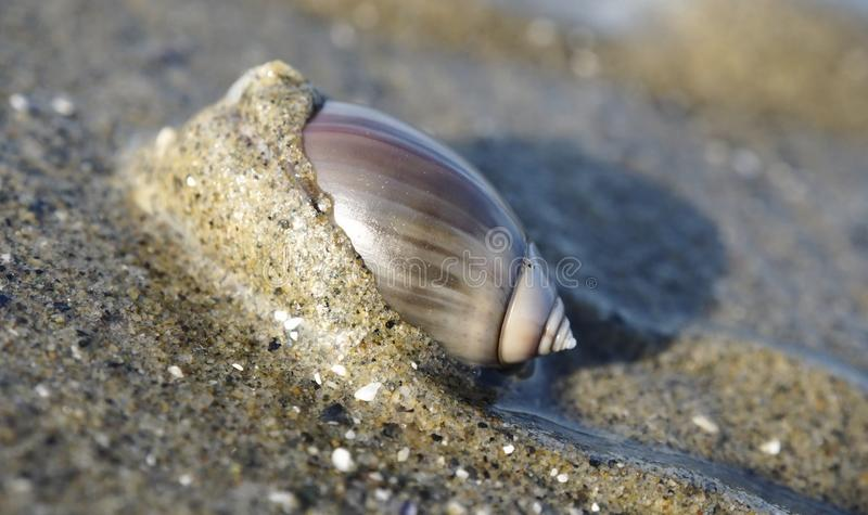 Olive Snail púrpura en la playa imágenes de archivo libres de regalías