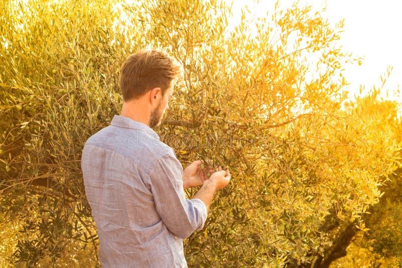 Olive su di olivo - agricoltura di controllo del giardiniere o dell'agricoltore fotografia stock