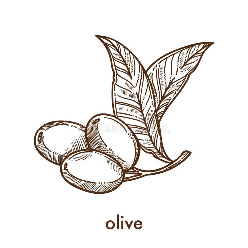 Olive sur la petite tige avec le croquis de monochrome de feuilles illustration de vecteur