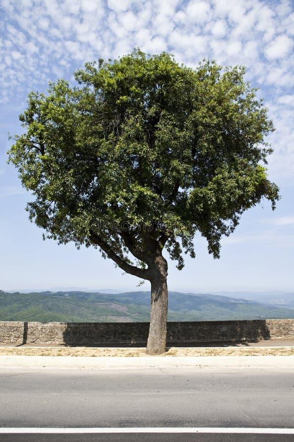 Free Olive Tree Royalty Free Stock Image - 15528376