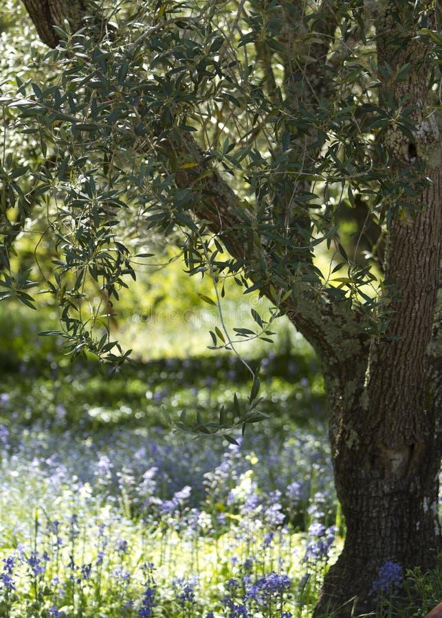 Free Olive Tree Royalty Free Stock Photo - 19953395