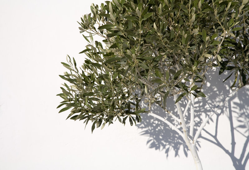 Download Olive Tree stock image. Image of copy, europaea, woody - 2180673