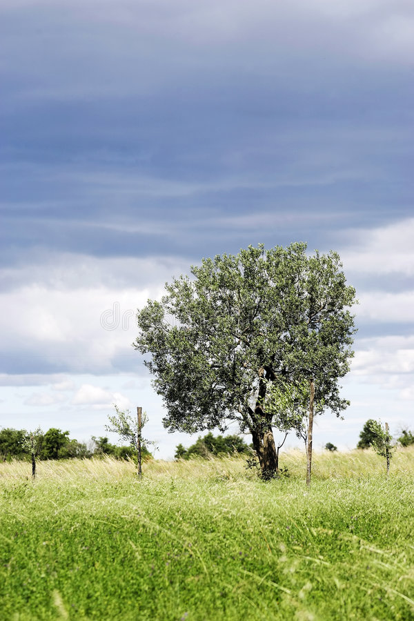 Free Olive Tree Royalty Free Stock Images - 2518959