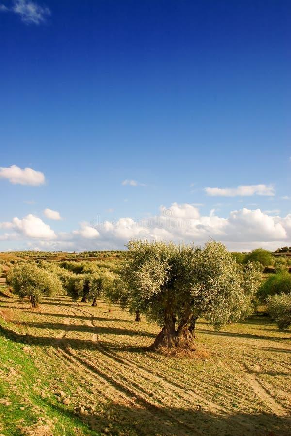 olive tree royaltyfri foto