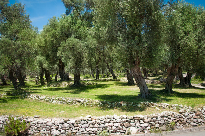 Download Olive tree stock photo. Image of garden, province, country - 25977580