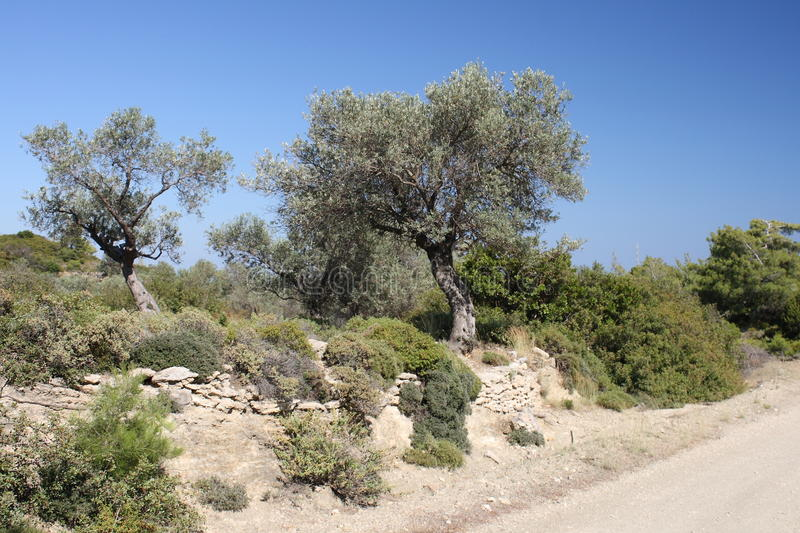 Download Olive tree stock photo. Image of countryside, mediterranean - 27736284
