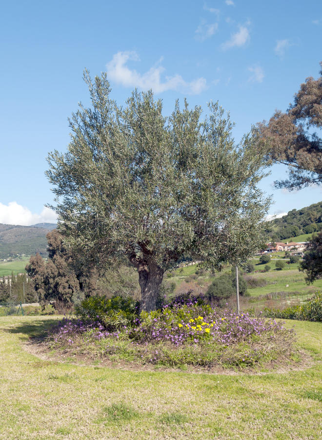 Download Olive tree stock photo. Image of hillside, olive, green - 29386662