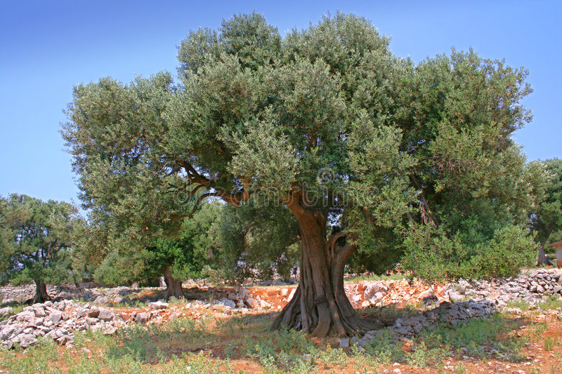 Olive tree royalty free stock photo