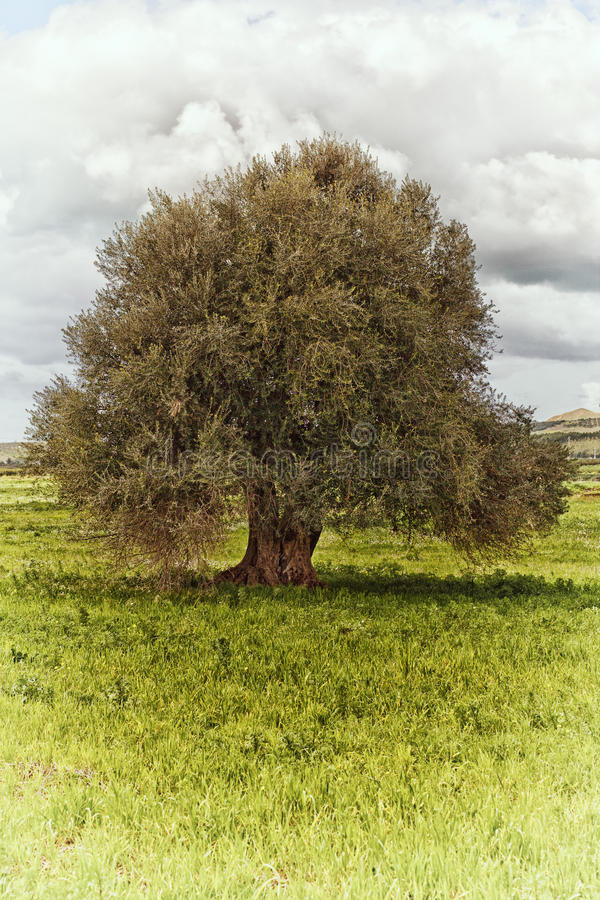 Free Olive Tree Royalty Free Stock Photography - 34475787