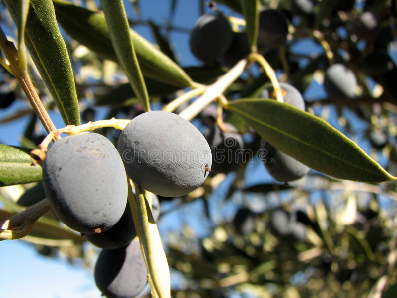 Olive on a tree stock image