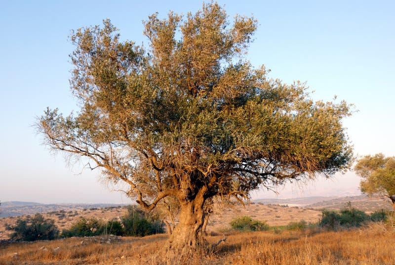 olive tree royaltyfri fotografi