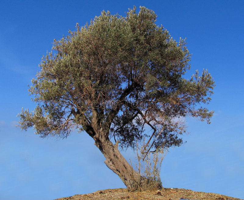 Download Olive tree stock image. Image of plants, farming, trees - 80897