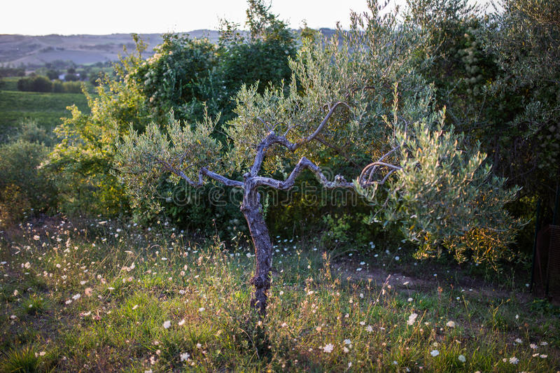 Download Olive tree stock photo. Image of blue, gravel, looking - 44776238