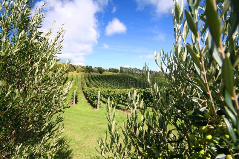 Olive tree along a vineyard royalty free stock photo