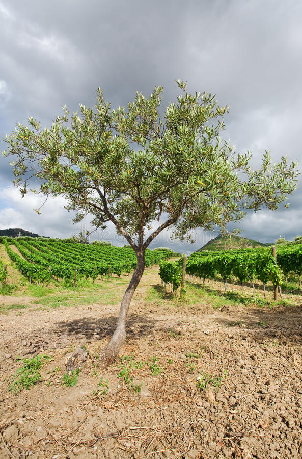 Free Olive Tree And Vineyard In Etna Region, Sicily Royalty Free Stock Photography - 20987507